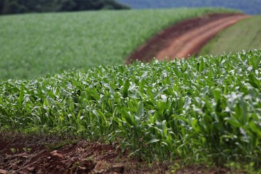 Estiagem e atraso no plantio do milho reduzem estimativa de safra de grãos no PR