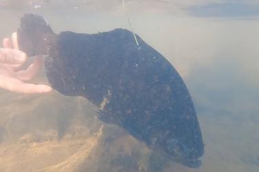Itaipu solta peixes marcados para monitorar migração no Rio Paraná