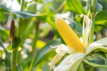Confira a cotação do dia para milho, soja e trigo