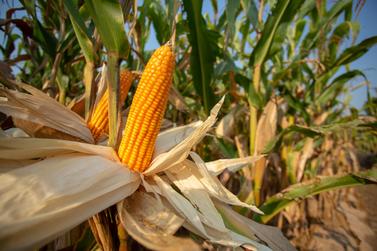 Confira a cotação do dia para milho, trigo e soja