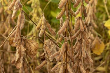 Confira a cotação do dia para soja, milho e trigo