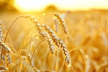 Confira a cotação do dia para trigo, milho e soja