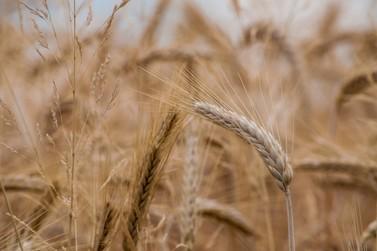 Confira a cotação do dia para trigo, soja e milho
