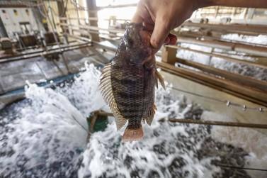 Paraná assume liderança na exportação de tilápia no segundo trimestre