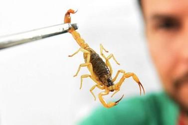 Picadas de escorpião são mais comuns no verão
