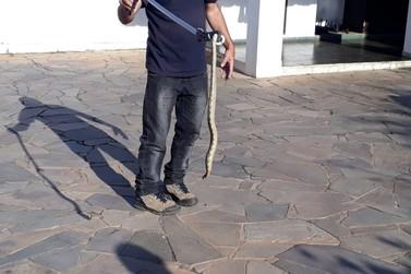 Defesa Civil captura 21ª cobra em área urbana de Santa Rita do Sapucaí