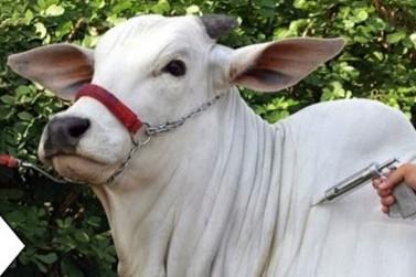 Vacinação de bovinos e bubalinos contra a febre aftosa começa em maio