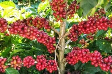 Safra mineira de café poderá ter produção recorde em 2020