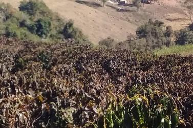 Emater-MG mapeia áreas produtoras de café atingidas por geada
