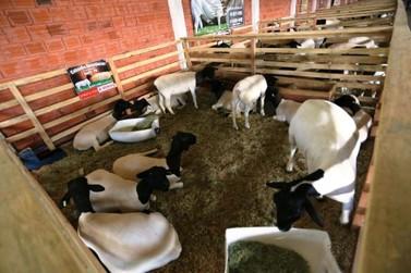 Expo-Umuarama terá julgamento e comercialização de ovinos