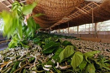 Seda é cultura de destaque na economia da região de Umuarama