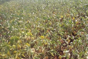 Perdas da soja com a estiagem chegam a 40% na região de Goioerê