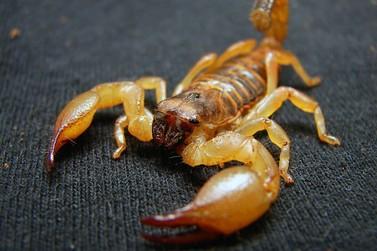 Criança fica em estado grave após ser picada por escorpião em Maringá