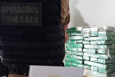 Canil da Polícia Militar apreende quase 70 quilos de maconha em Umuarama