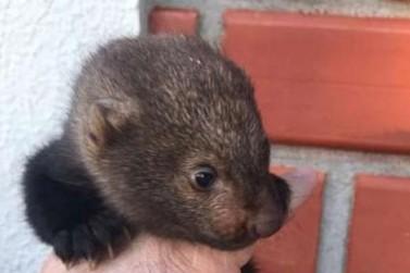Filhote de irara encontrado em Iporã é o novo morador do zoológico de Cascavel