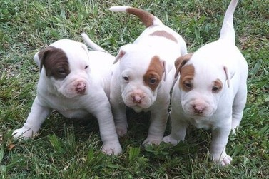 Filhotes de pitbull são furtados de residência em Moreira Sales
