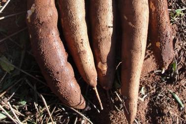 Iapar lança cultivar de mandioca para farinha e fécula em Paranavaí