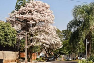Ipês-brancos encantam visitantes e moradores de Umuarama