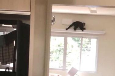 Macaco-prego 'visita' apartamento de morador de Umuarama; VÍDEO