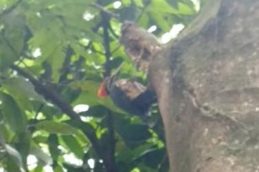 Pica-pau 'do desenho' é flagrado por morador em árvore do Bosque Uirapuru; vídeo