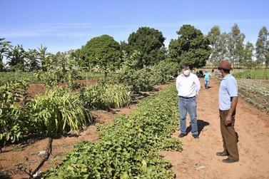 Pequenos produtores rurais de Umuarama recebem 5 mil mudas de mamão para cultivo