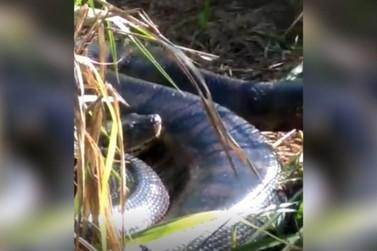 Vídeo mostra sucuri que teria sido encontrada por trabalhadores em Tapejara