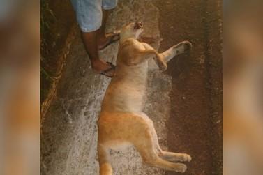 Onça parda morre após ser atropelada em rodovia na região de Umuarama