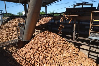 Colheita de mandioca acelera e reduz ociosidade da indústria em Umuarama