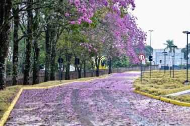 Majestoso colorido do Ipê-rosa transforma a paisagem de Umuarama