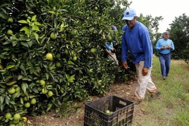 """""""Mar verde"""" de Altônia, limão gera empregos e ganha os ceasas do Paraná"""