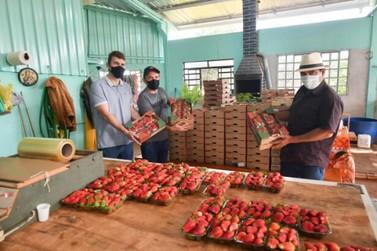 Cultivo de morango gera empregos e renda em pequenas propriedades de Umuarama