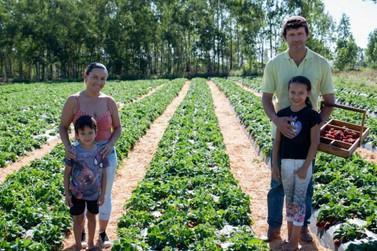 Cultivo de morango conquista pequeno produtor rural do distrito de Lovat