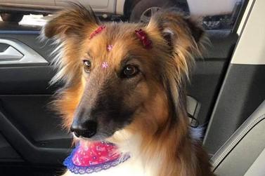 Família oferece recompensa de R$ 500 por cachorra desaparecida em Umuarama