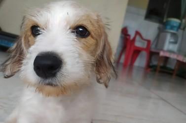 Tutora pede ajuda para localizar cãozinho que desapareceu no Alto da Paraná
