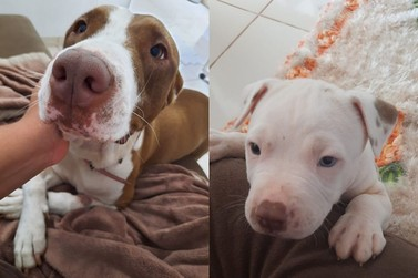 Tutora procura cadela e filhote da raça pitbull desaparecidos há quase um mês