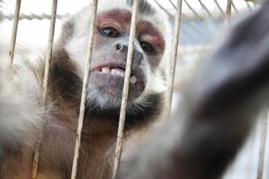 Vigilância Sanitária socorre macaco-prego que foi atacado por ouriço em Umuarama