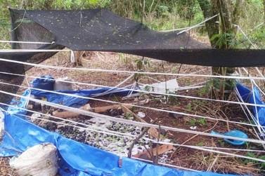 Polícia encontra plantação de maconha na margem do Rio Ligeiro, perto da PR-323