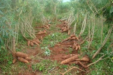 Iapar realiza Dia de Campo da Cultura de Mandioca em Umuarama