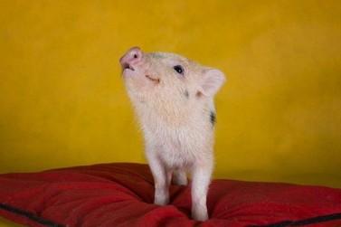 Mini pig, o porquinho de estimação, já está à venda no Paraná