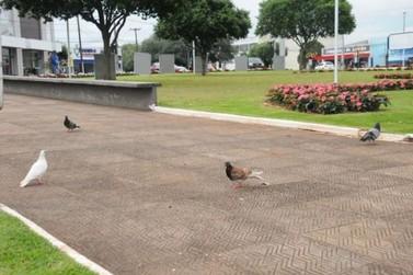 População não deve dar alimentos aos pombos; eles representam riscos à saúde
