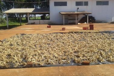 Reduto da cultura do ginseng brasileiro fica na região de Umuarama