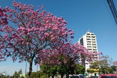 Vereadores aprovam o Ipê como árvore símbolo de Umuarama