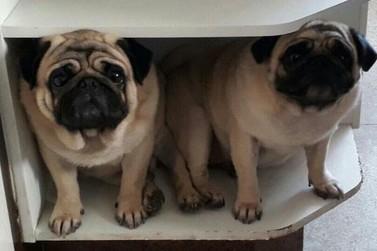 Família encontra cães da raça Pug roubados em Barra Mansa