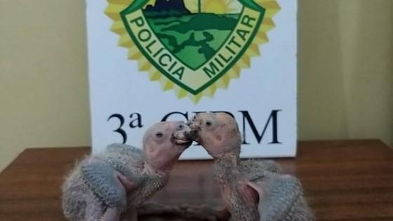 Homens são presos com filhotes de papagaios em Loanda - ® Portal da Cidade | Paranavaí