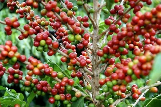 Produção de café deve cair 10,8%, segundo IBGE
