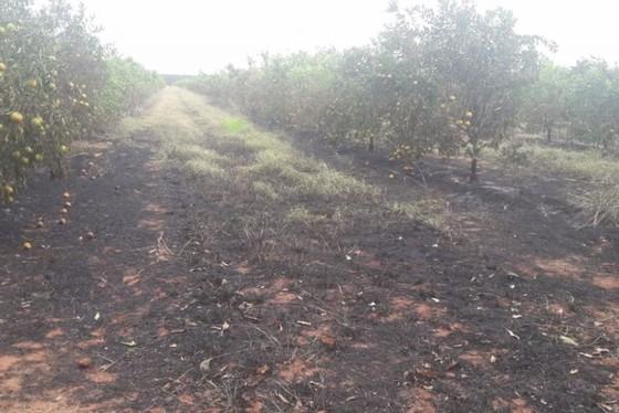 15 mil pés de laranja foram atingidos pelo fogo, no noroeste do Paraná.