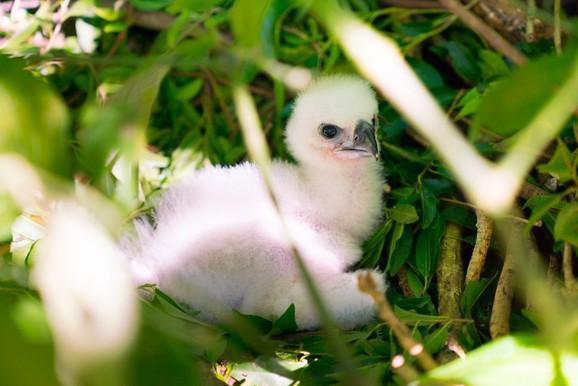 Itaipu batiza segunda geração de harpias reproduzidas em cativeiro